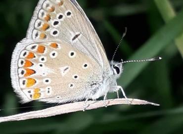 Polyommatus thersites (Cantener, 1834) – çokgözlü menekşemavisi