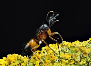 Camponotus sanctus (Forel, 1904)
