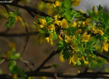 Caragana grandiflora (BIEB.) DC.