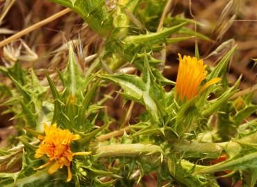 Scolymus maculatus