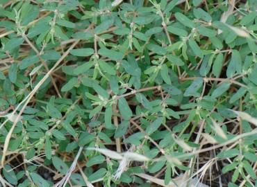 Euphorbia maculata L.