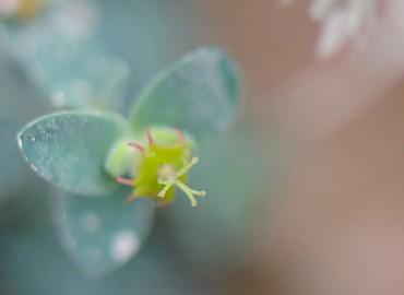 Euphorbia herniariifolia