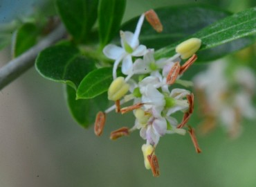 Fontanesia phillyreoides