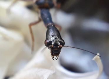 Raphidioptera