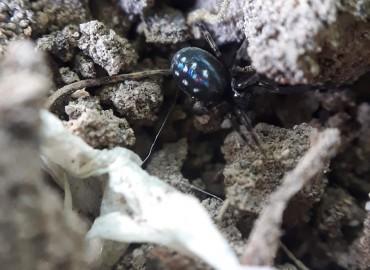 Titanoecidae