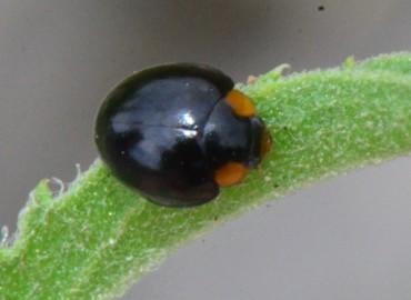 Exochomus nigromaculatus -> Parexochomus nigromaculatus