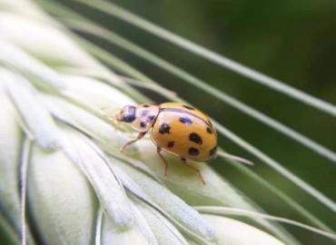 Propylea quatuordecimpunctata -> Propyleae quatuordecimpunctata