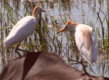 Bubulcus ibis-Sığır Balıkçılı
