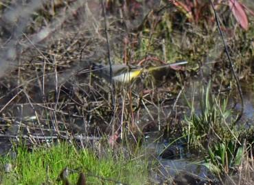 Motacilla cinerea-Dağ kuyruksallayanı
