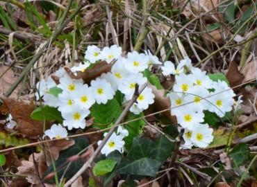 Primula acaulis subsp. acaulis