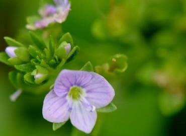 Veronica anagallis-aquatica subsp.anagallis-aquatica