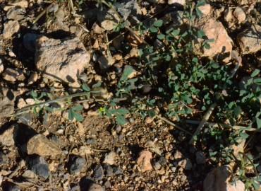 Medicago monantha subsp. monantha