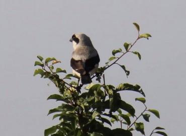 Lanius minor-Karaalınlı örümekkuşu